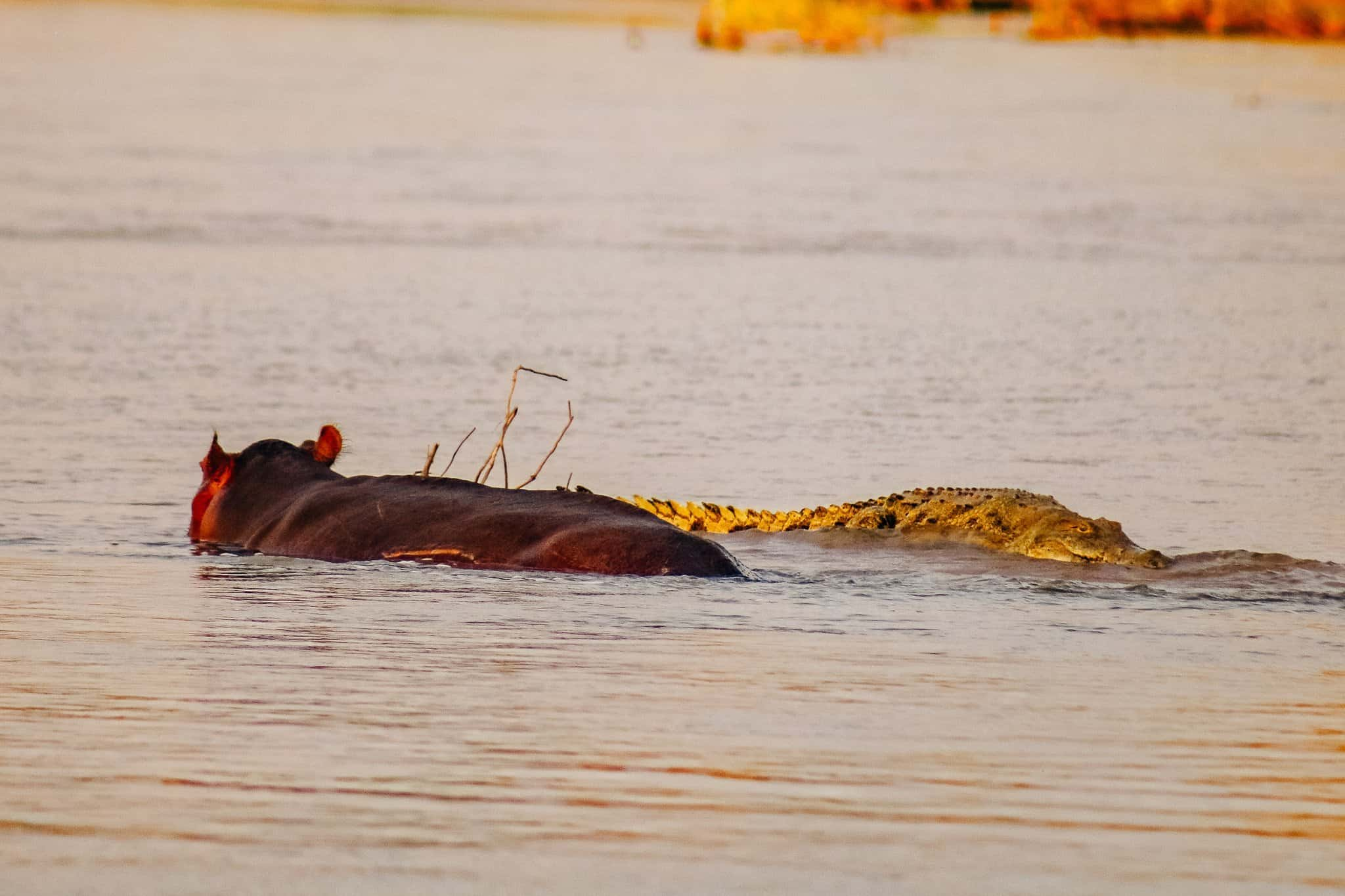The Start of our First African Safari - Hippo Fighting a Crocodile
