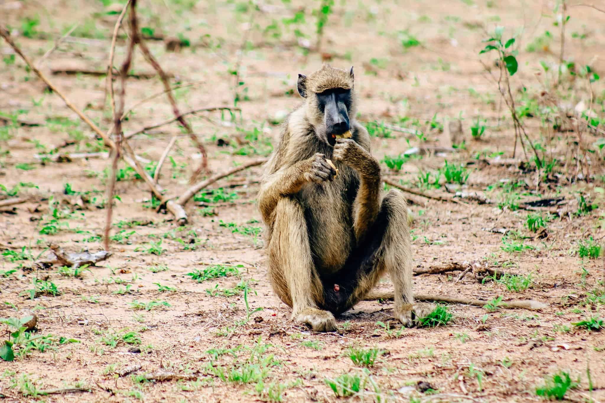 The Start of our First African Safari - Baboon