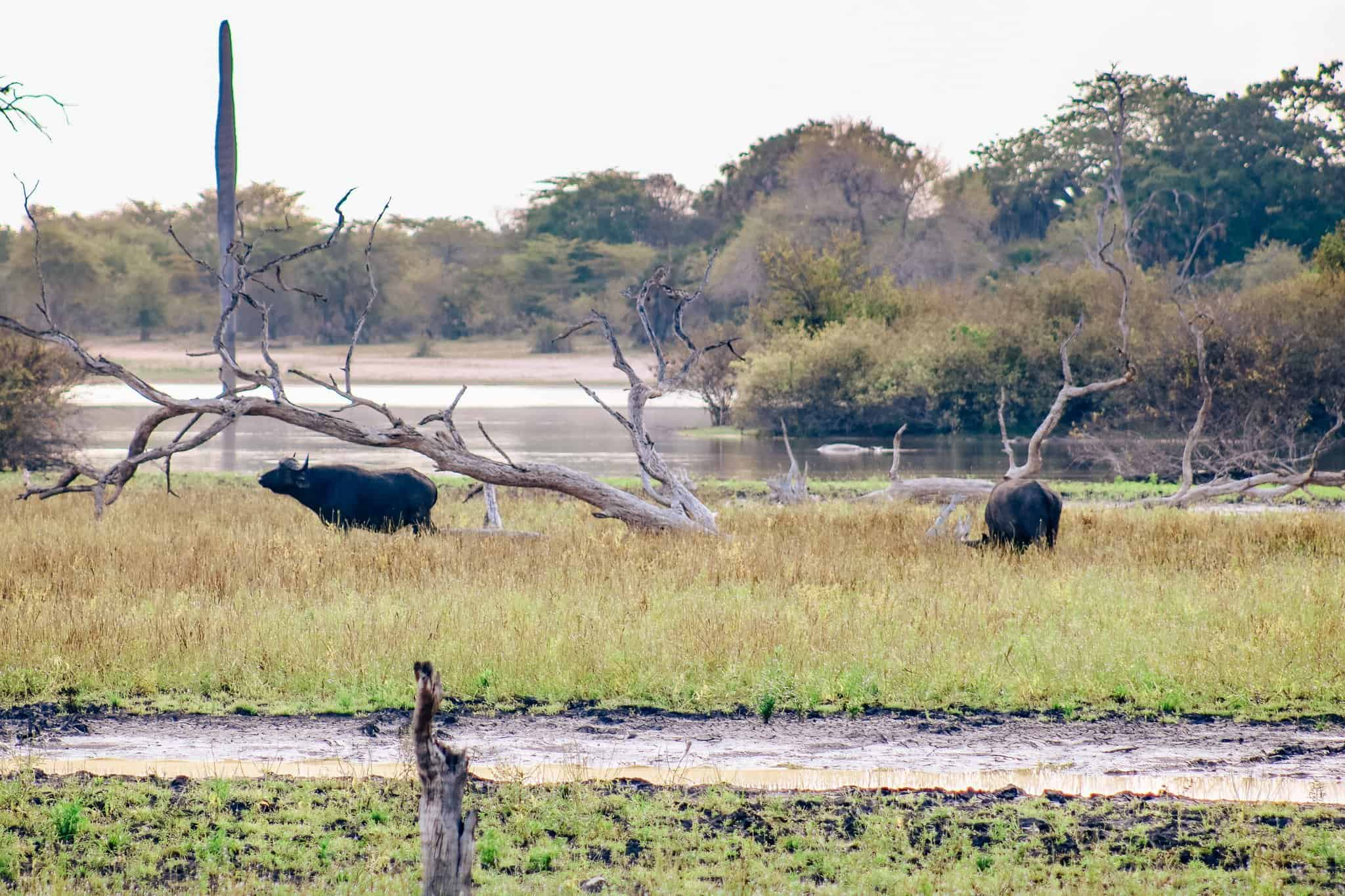 Water Buffalo on African Safari Drive in the Selous Game Reserve
