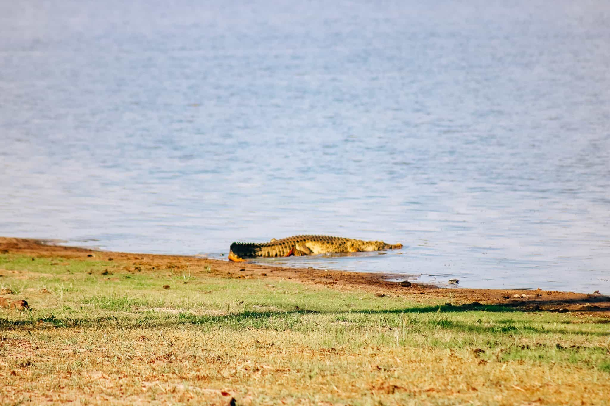Crocodile on African Safari Drive in the Selous Game Reserve