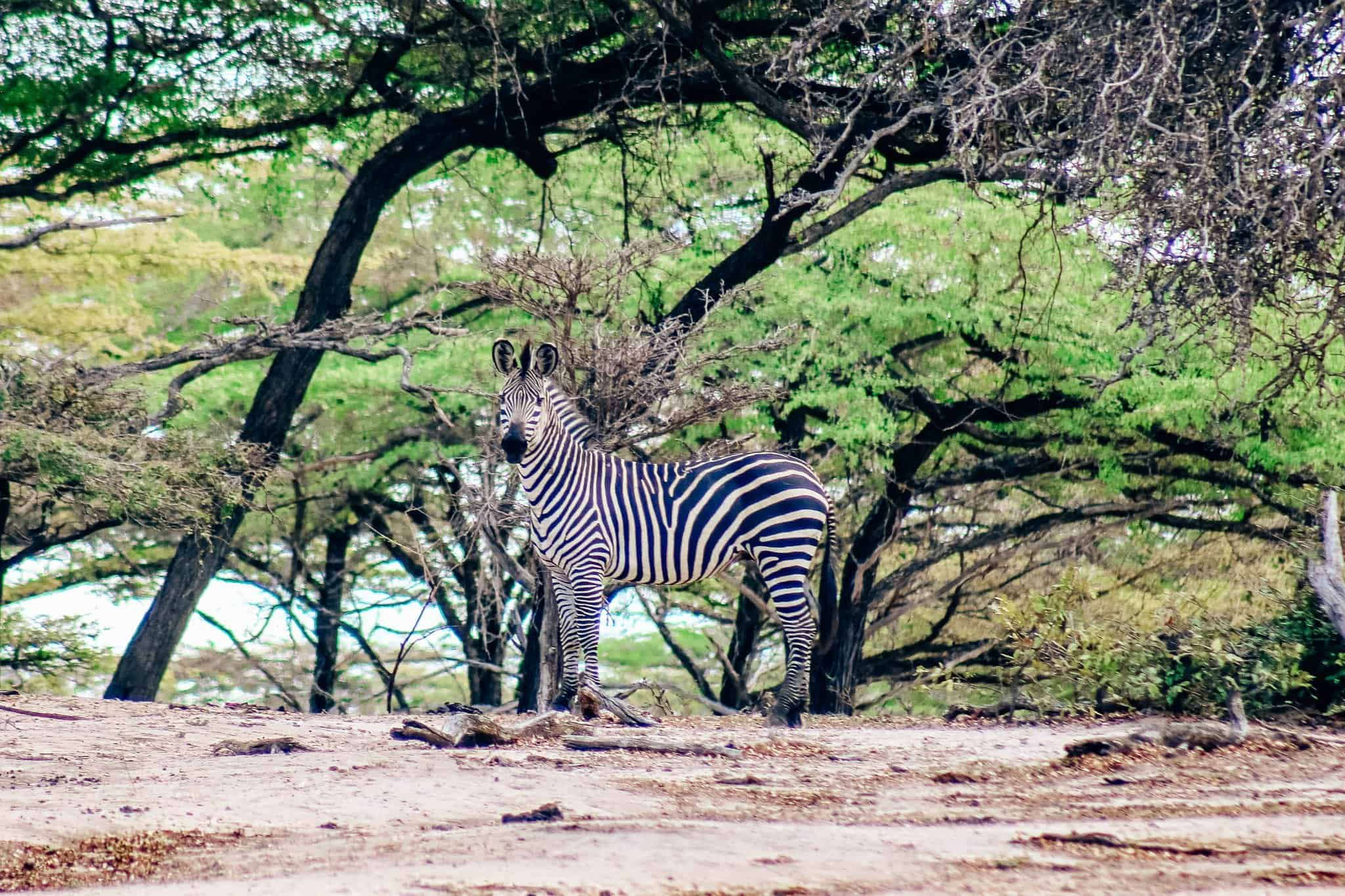 Zebra on African Safari Drive in the Selous Game Reserve