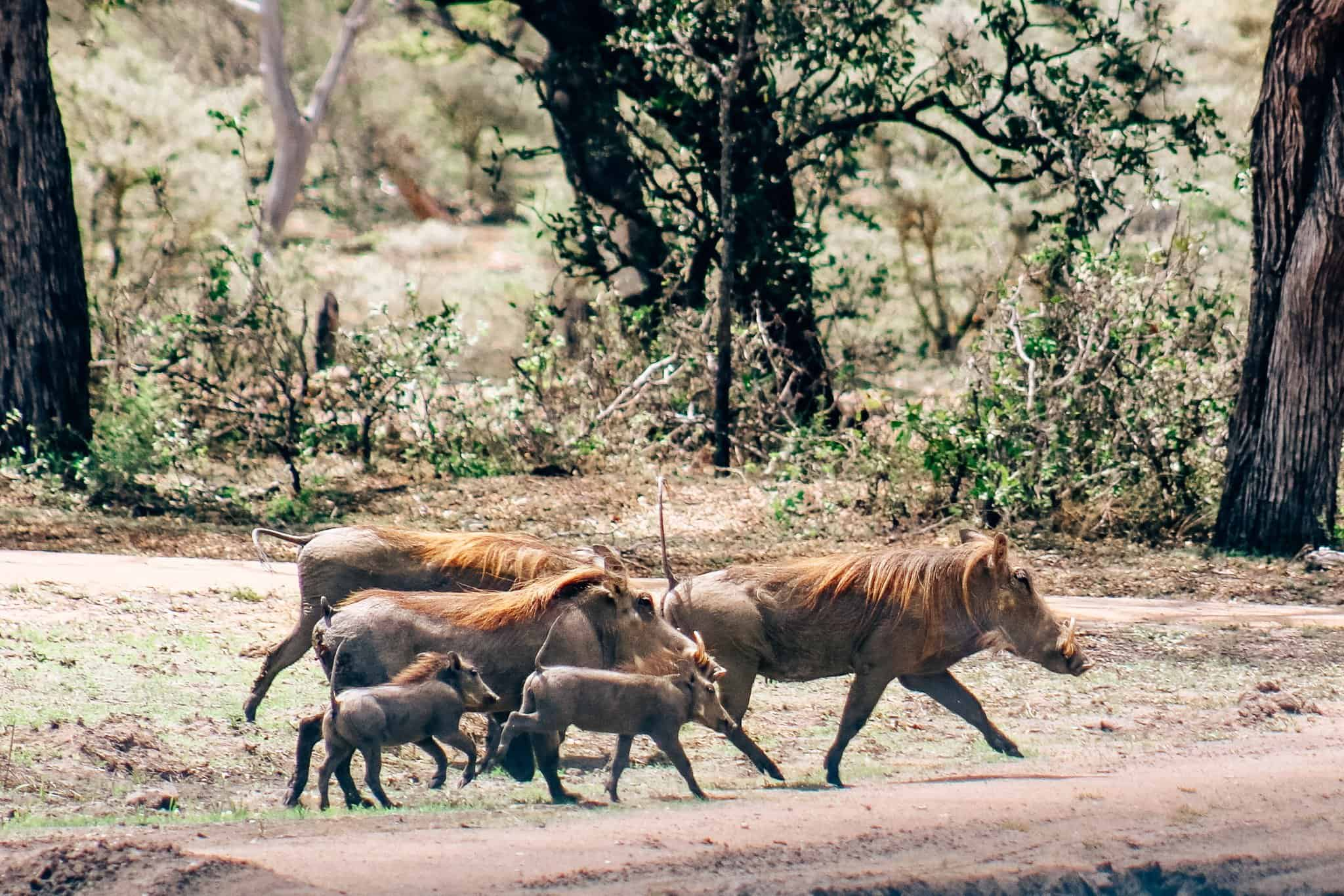 Warthog Family on African Safari Drive in the Selous Game Reserve