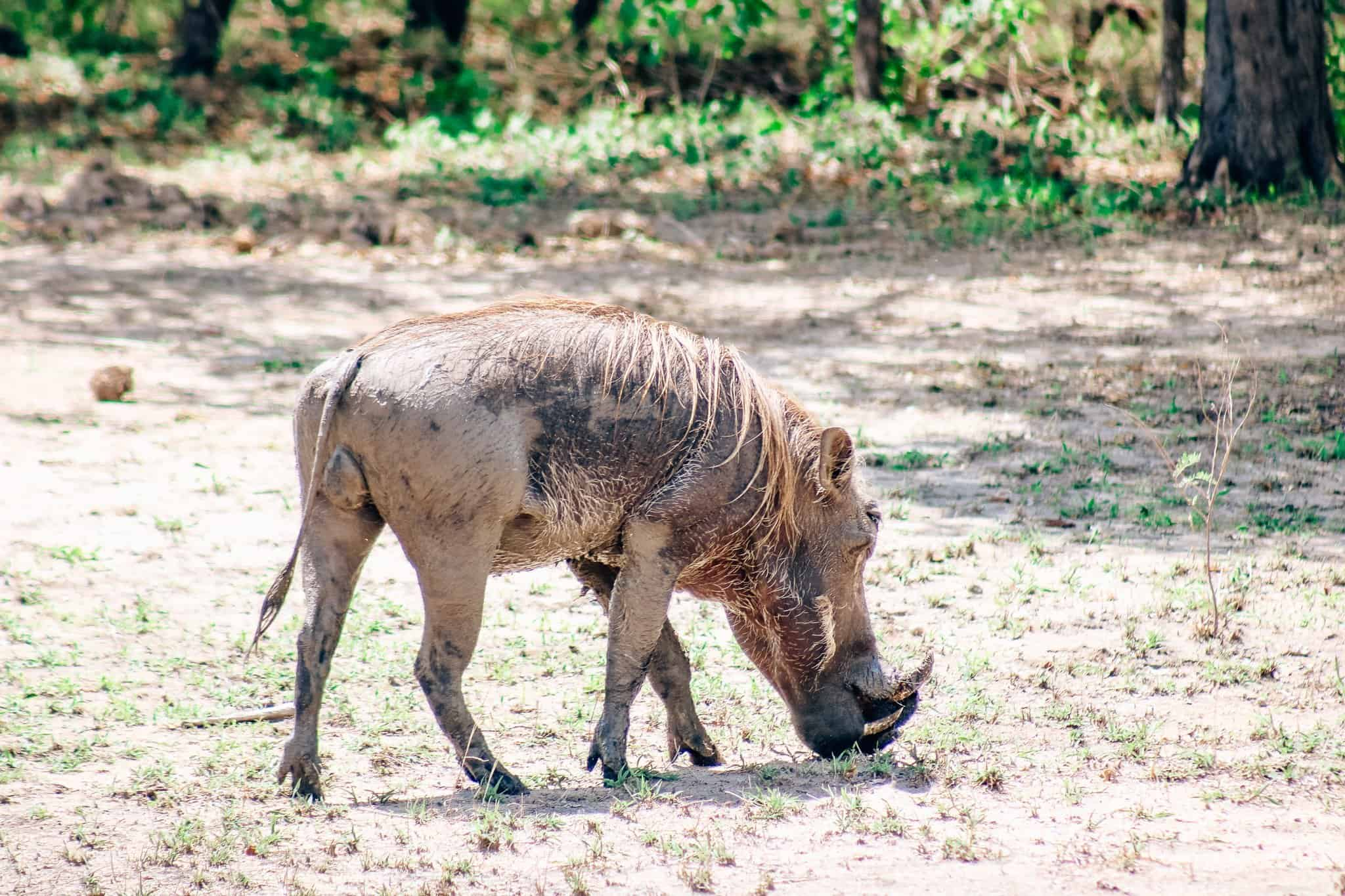 Warthog on African Safari Drive in the Selous Game Reserve