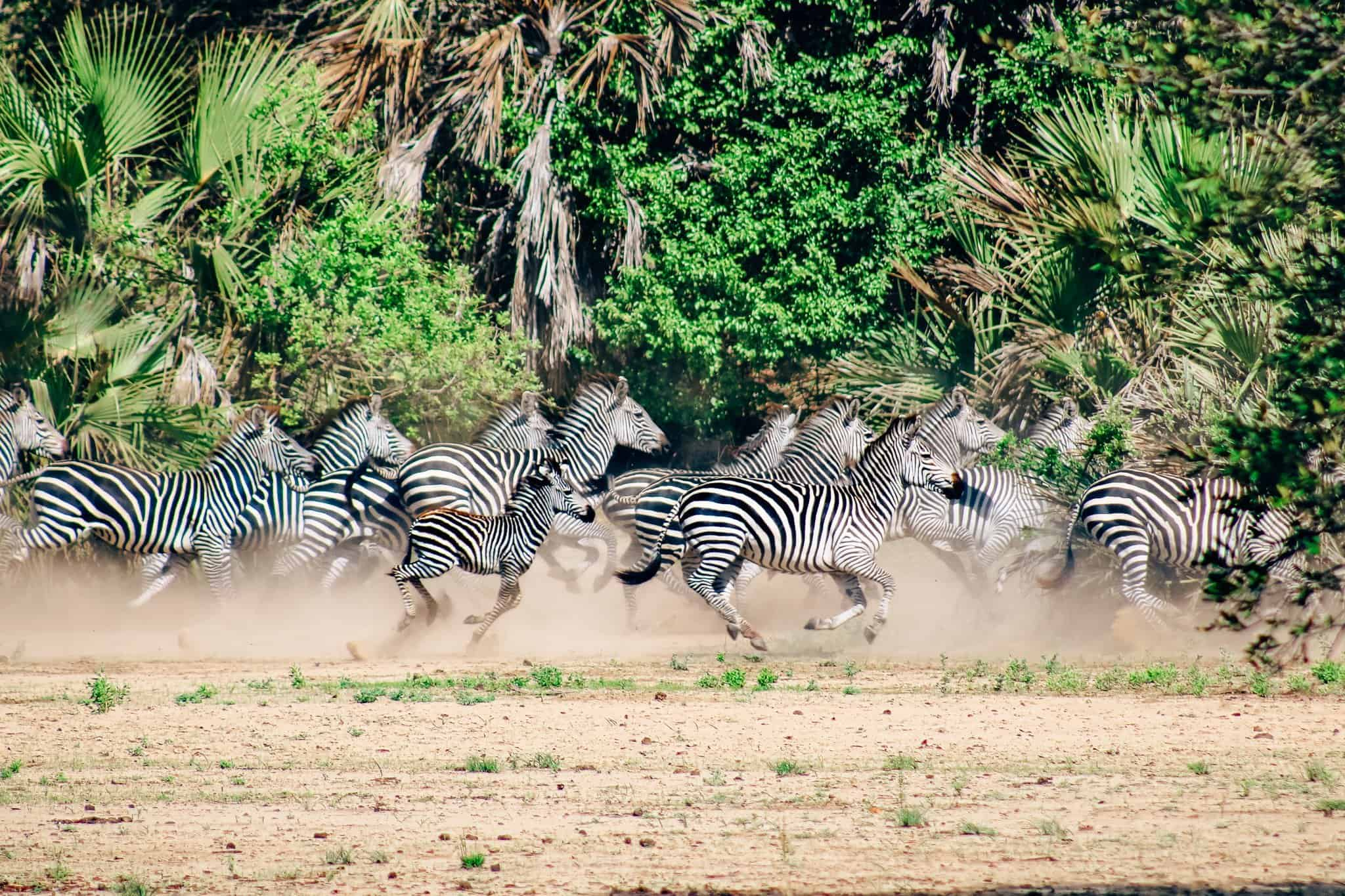 Herd of Zebras on African Safari Drive in the Selous Game Reserve