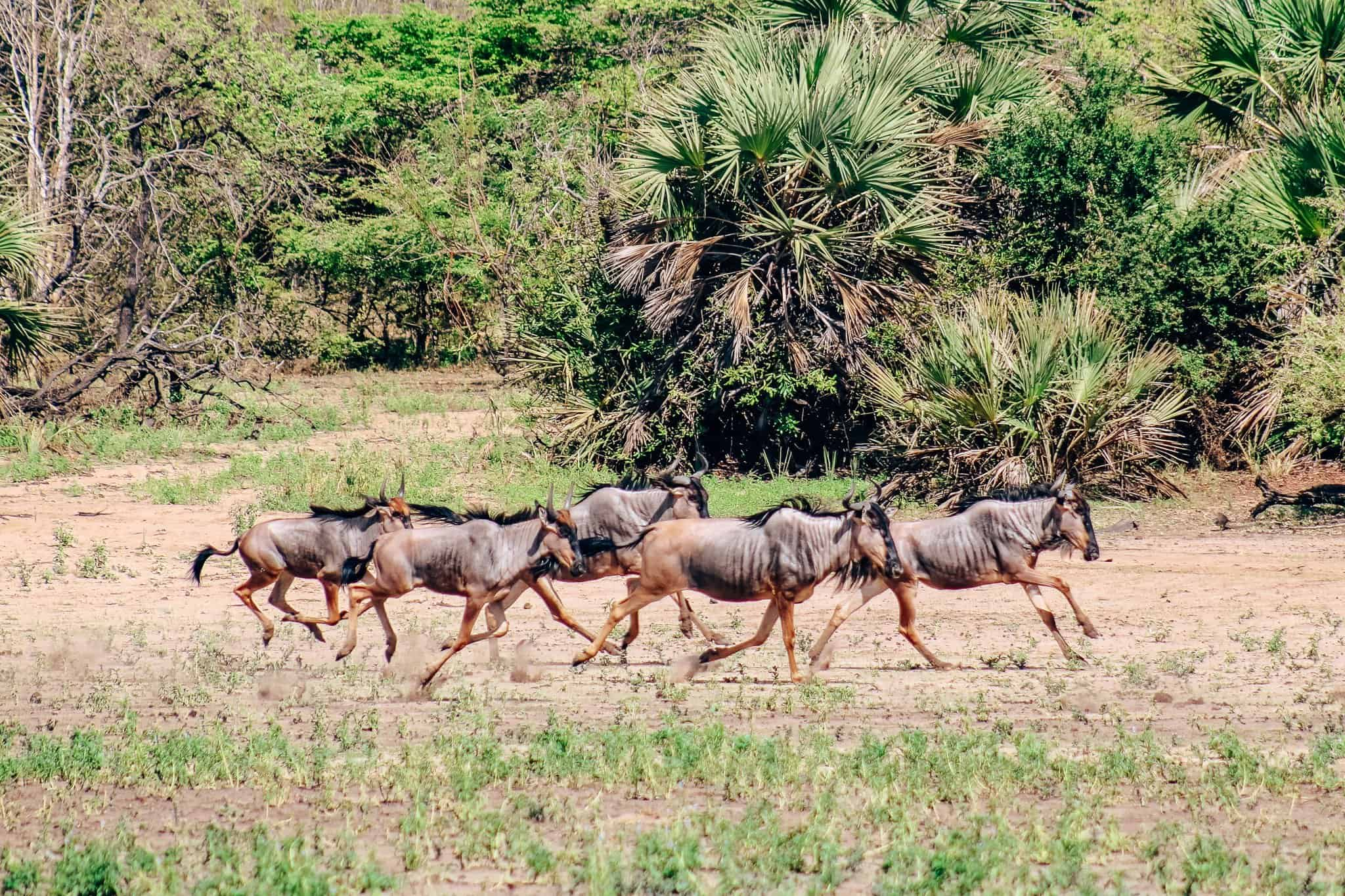 Herd of Wildebeest on African Safari Drive in the Selous Game Reserve