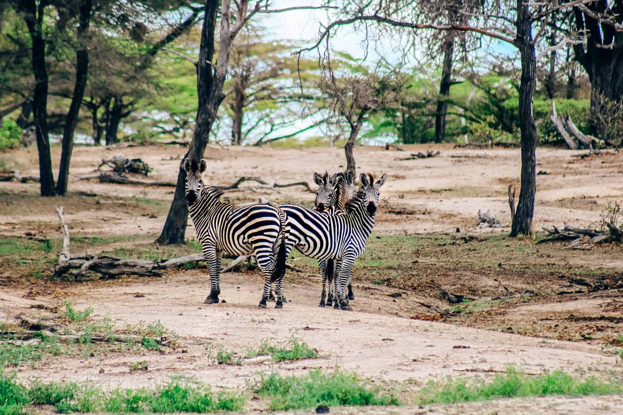 Zebras on African Safari Drive in the Selous Game Reserve
