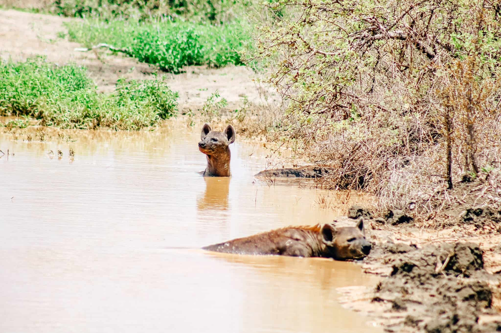 Two Hyenas in Water on African Safari Drive in the Selous Game Reserve